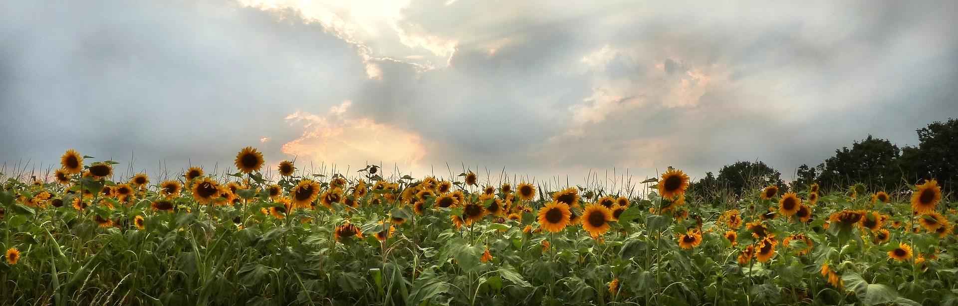 sun-flower-2269185-1920.jpg