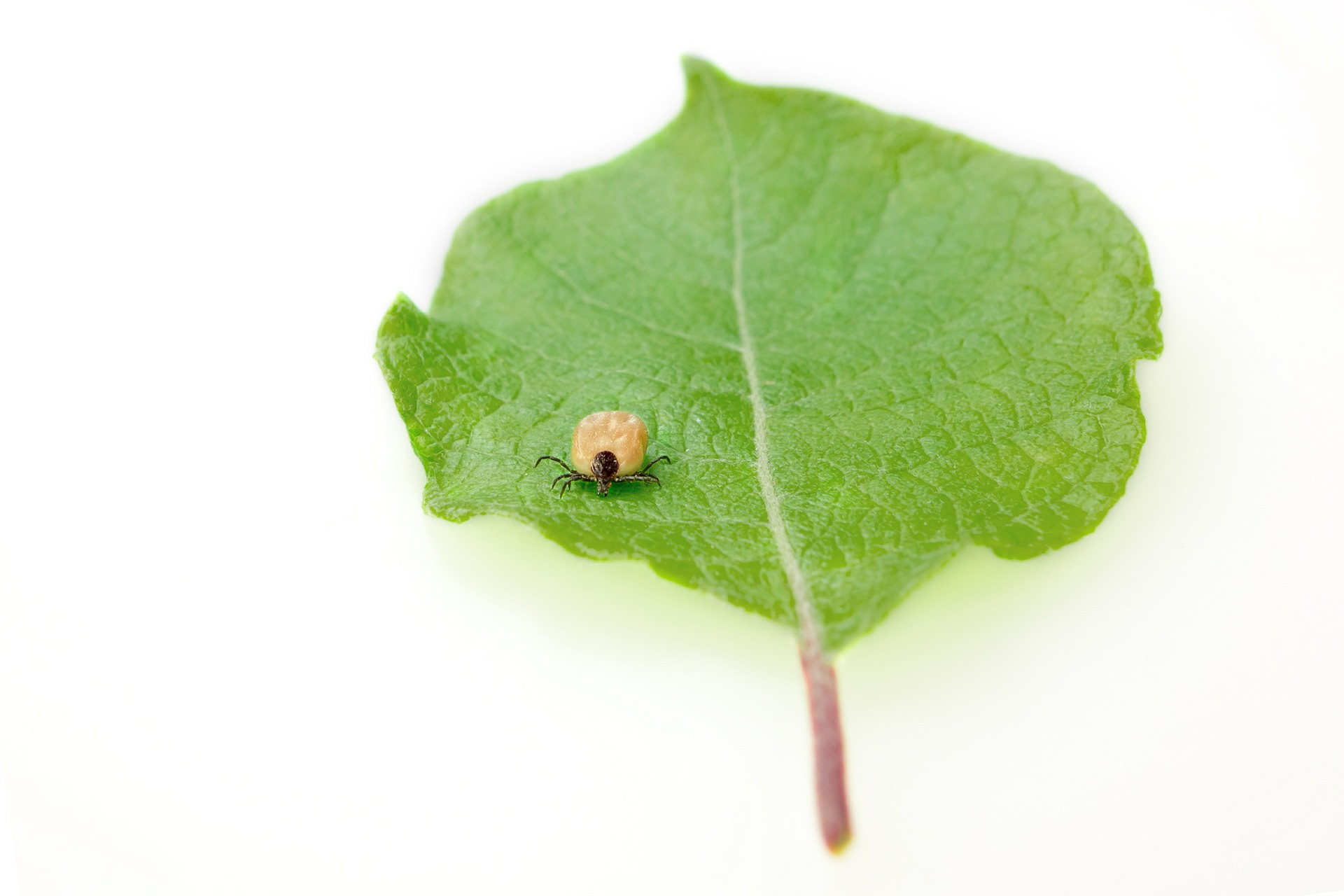 tick-on-leaf.jpg