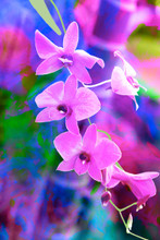 Lovely Cooktown Orchid, nice, Australian gift.