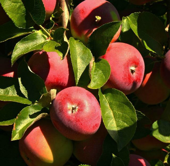Apple Orchard Apples