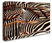 Africa Safari Zebras Wall Art Canvas 8998-1109