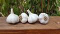 4 Pack Cold Weather Garlic Hardneck Sampler - Certified Naturally Grown