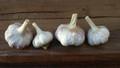 Turban Asiatic Creole Garlic 4 pack sampler