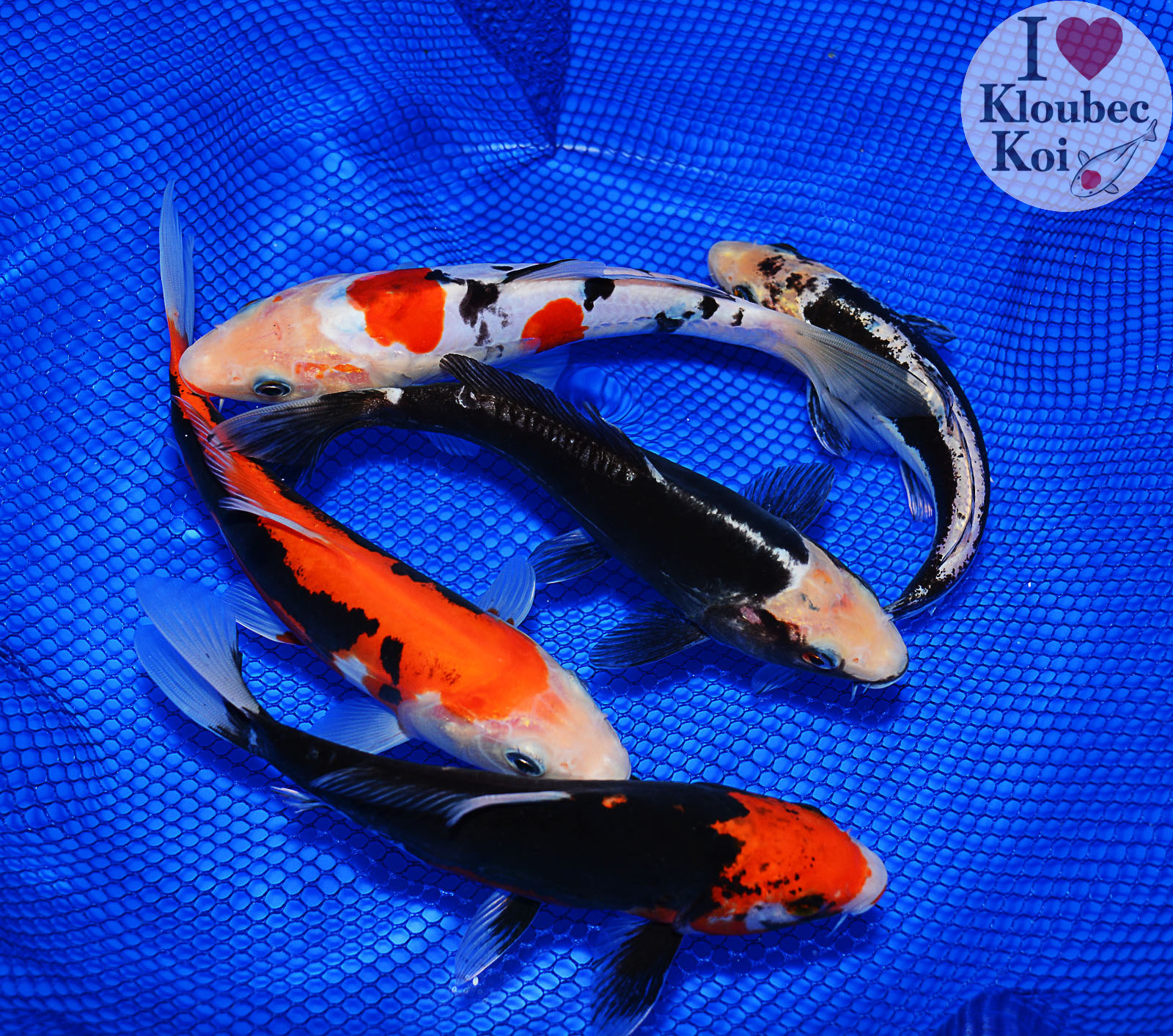 What is a pond pack what is a bulk pack and how do they for Bulk koi for sale
