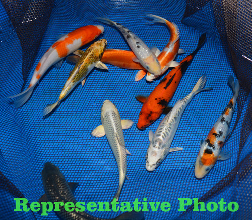 Kloubec choice mix pond pack 8 10 kloubec koi farm store for Bulk koi for sale