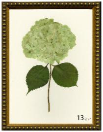 Hydrangea Print #13