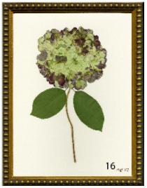 Hydrangea Print #16