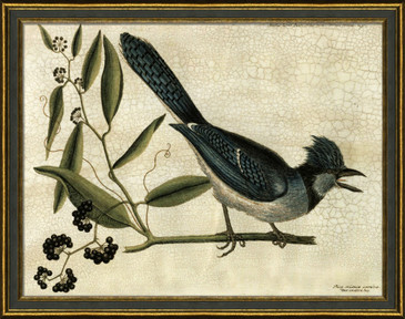 The Crested Jay