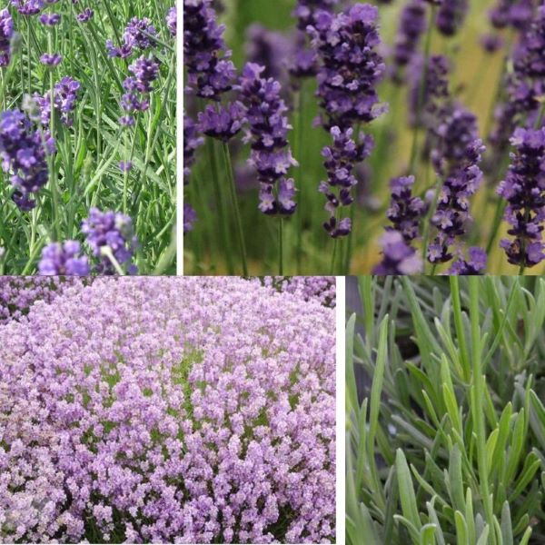 lavender-.jpg