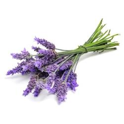 Lavender Plants for Sale: Buy Lavender Plants Online