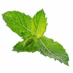 Mint Plants for Sale: Buy Mint Plants Online