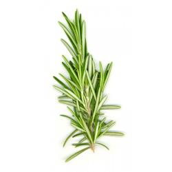 Rosemary Plants for Sale: Buy Rosemary Plants Online