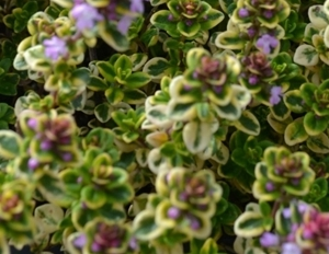 thyme-lemon-variegated-small-insert.jpg