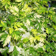 Buy Artemisia Limelight | Buy Herb Plant Online in 1 Litre Pot