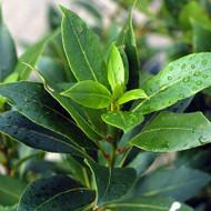 Buy Bay Tree (Laurus nobilis)   Buy Herb Plants Online