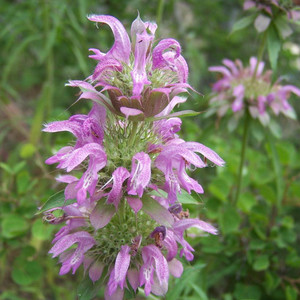 Buy Monarda citriodora 'Bergamot Lemon' | Herb Seeds for Sale