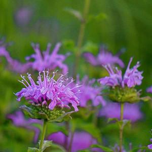 Buy Monarda fistulosa 'Bergamot Wild' | Herb Plant for Sale in 1 Litre Pot