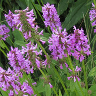 Buy Stachys Officinalis 'Betony' | Buy Herb Plant Online in 1 Litre Pot