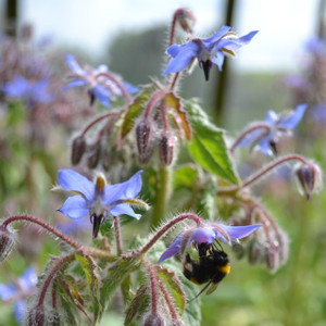 Buy Borago officinalis 'Borage Blue' | Buy Herb Plant Online in 9cm Pot