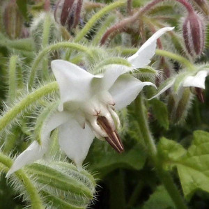 Buy Borago officinalis var. alba 'White Borage' | Herb Plant for Sale in 9cm Pot