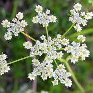 Buy Carum carvi, Caraway | Herb Plant for Sale in 9cm Pot