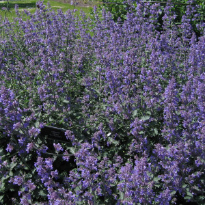 Buy Nepeta 'Six Hills Giant', Catmint Six Hills Giant | Potted Herb Plant | Hooksgreen Herbs