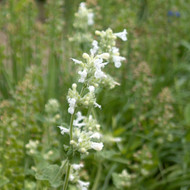 Buy Nepeta x faassenii 'Alba' White Catmint | Herb Plant for Sale in 9cm Pot