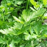 Buy Apium graveolens Celery Leaf | Buy Herb Plant Online in 9cm Pot