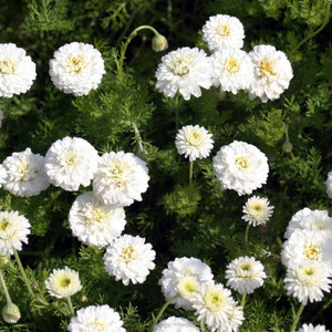 Buy Chamaemelum nobile 'Flore Pleno' Double Chamomile | Buy Herb Plant Online in 9cm Pot