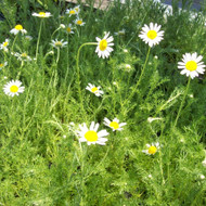 Buy Chamaemelum nobile, Roman Chamomile | Buy Herb Plant Online in 9cm Pot