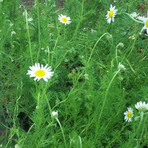 Buy Chamaemelum nobile, Roman Chamomile | Herb Plant for Sale in 9cm Pot