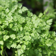 Buy Anthriscus cerefolium Chervil | Buy Herb Seeds Online