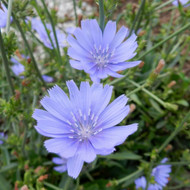 Buy Cichorium intybus 'Chicory Blue' | Potted Herb Plant | Hooksgreen Herbs
