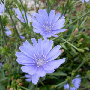 Buy Cichorium intybus 'Chicory Blue' | Herbs Seeds from Hooksgreen Herbs