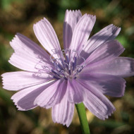 Buy Cichorium intybus 'roseum' Chicory Pink | Buy Herb Plant Online in 1 Litre Pot