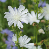 Buy Cichorium intybus 'alba' Chicory White   Herb Plant for Sale in 1 Litre Pot