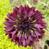 Centaurea cyanus | Cornflower 'Black Ball' | Buy Herbs online