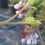 Symphytum 'Hidcote Blue'(Comfrey 'Hidcote Blue')|Buy Herb Plant