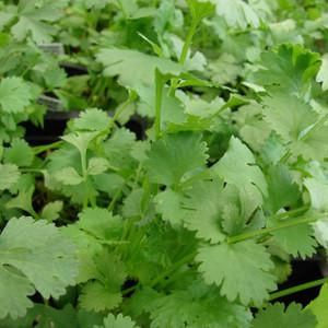 Buy Coriandrum sativum 'Cilantro' Coriander | Buy Herb Seeds Online