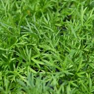 Buy Coriandrum sativum RHS AGM 'Confetti' Coriander Confetti   Herb Plant for Sale in 9cm Pot