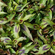 Buy Persicaria odorata 'Vietnamese Coriander' | Buy Herb Plant Online in 9cm Pot