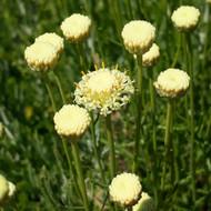 Buy Santolina pinnata subsp. neopolitana Cotton Lavender 'Edward Bowles' | Herb Plant for Sale in 1 Litre Pot