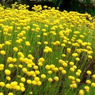 Buy Santolina Cotton Lavender Virens | Buy Herb Plant Online in 1 Litre Pot