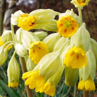 Buy Primula veris 'Cowslip' | Buy Herb Plant Online in 9cm Pot