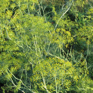 Buy Anethum graveolens 'Dukat' Dill | Buy Herb Seeds Online
