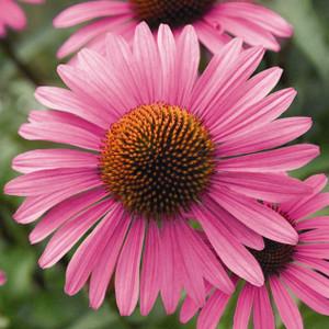 Buy Echinacea angustifolia   Herb Seeds for Sale