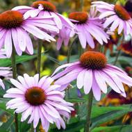 Buy Echinacea angustifolia | Buy Herb Seeds Online