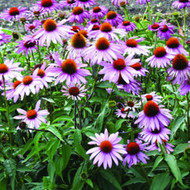 Buy Echinacea purpurea 'Magnus Superior' | Herb Plant for Sale in 1 Litre Pot