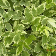 Buy Aegopodium Podagraria 'Variegata' Elder, Variegated Ground Elder| Herb Plant for Sale in 1 Litre Pot