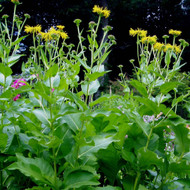 Buy Inula helenium Elecampane | Herb Plant for Sale in 1 Litre Pot